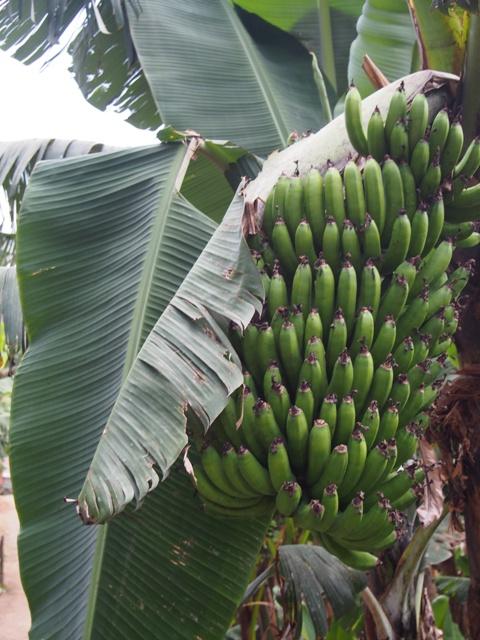 Bananowce chronią krzaki kawy przed słońcem
