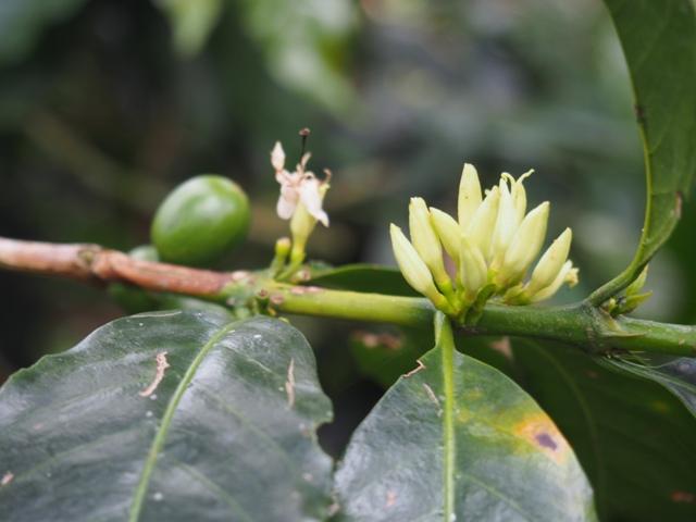 Kwiat kawowca
