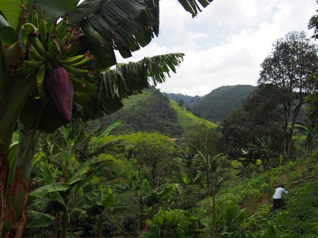 Plantacja kawy, Salento, Kolumbia