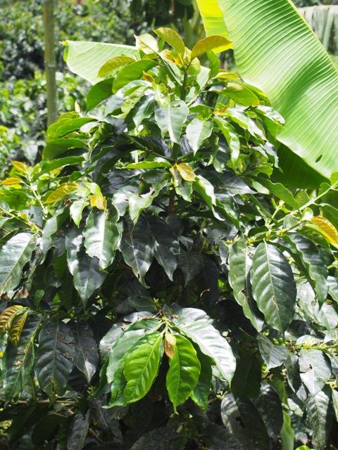 Krzew kawowca