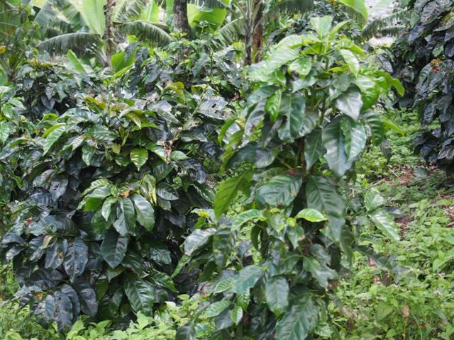 Krzewy kawy