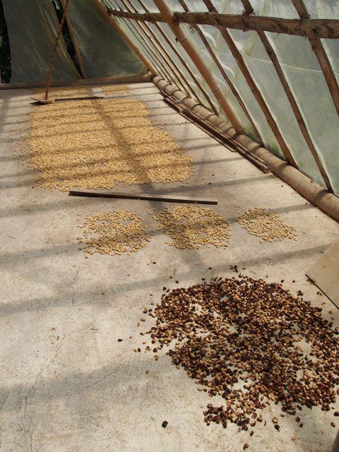 Suszenie ziaren kawy